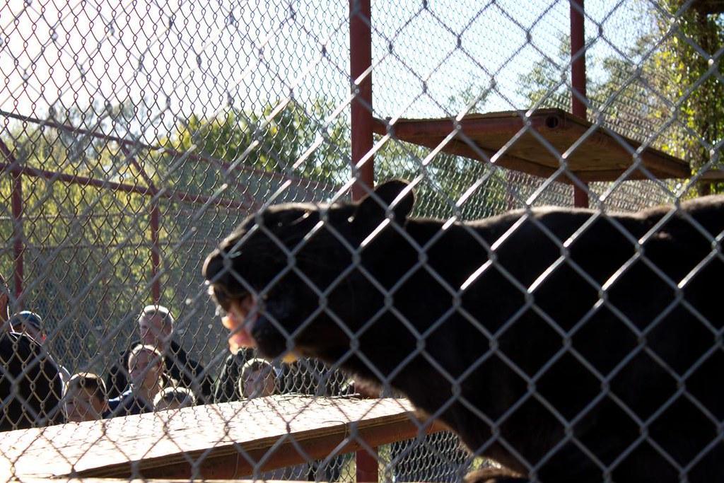 Black leopard 4
