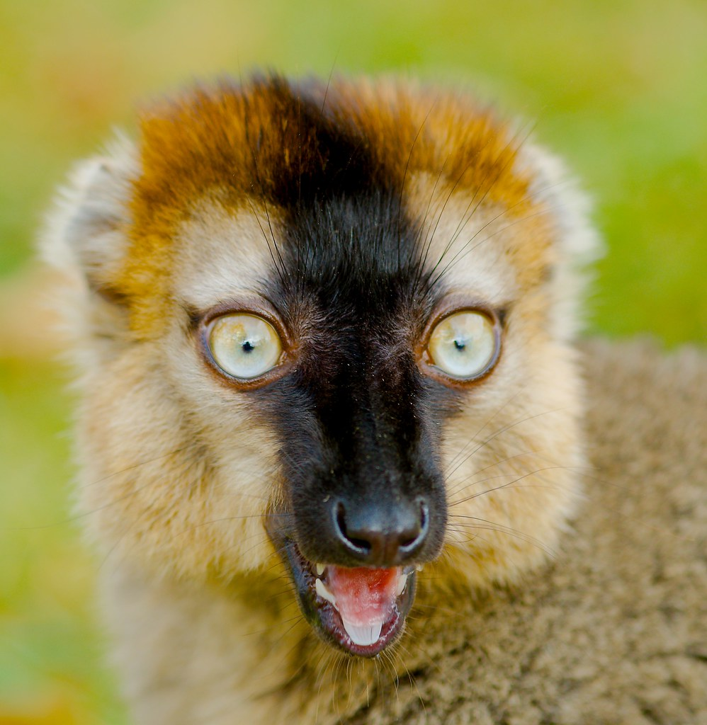Common Brown Lemur (Eulemur fulvus)_12