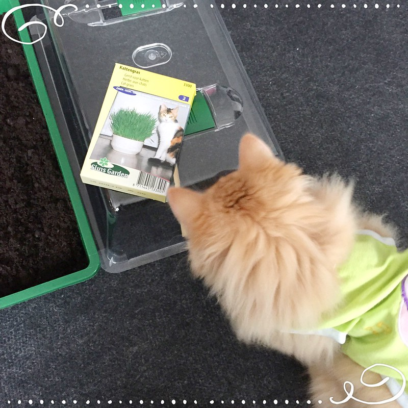 How to grow cat grass from seed