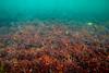 Subtidal Mazzaella japonica - Vancouver Island