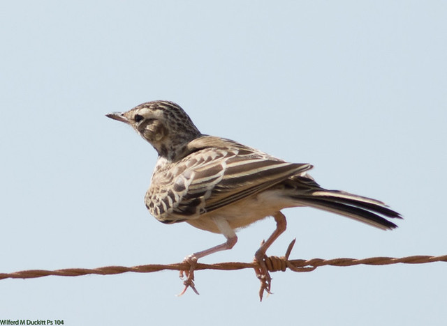 Header of African Pipit
