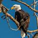 Injured Eagle