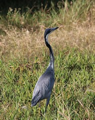 wetland(0.0), pelecaniformes(0.0), ibis(0.0), animal(1.0), fauna(1.0), little blue heron(1.0), heron(1.0), beak(1.0), bird(1.0), wildlife(1.0),