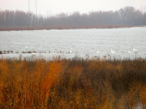 roadtrip swans missouri mississippiriver trumpeterswans usarmycorpsofengineers westalton cygnusbuccinator ahobblingaday riverlandsmigratorybirdsanctuary sugarlandtxtobinghamtonny thirddayoftrip