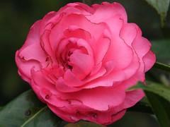 Platypus Rose Pink
