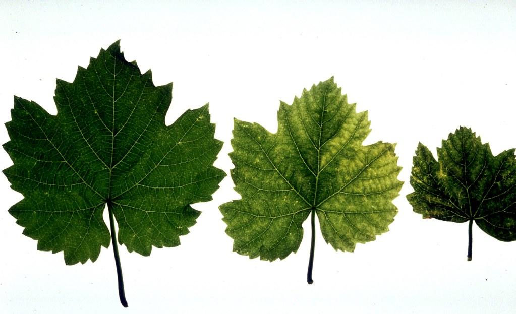 Asma yapraklarında belirti 1