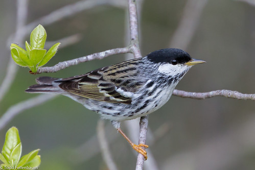 BJ8A7468-Blackpoll Warbler | by tfells