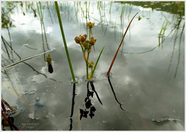 Rannoch Rush (Scheuchzeria palustris)~fruiting capsules.