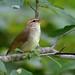 Swainson's Warbler (Limnothlypis swainsonii) by fmlehman
