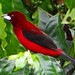 Crimson-Backed Tanager 4