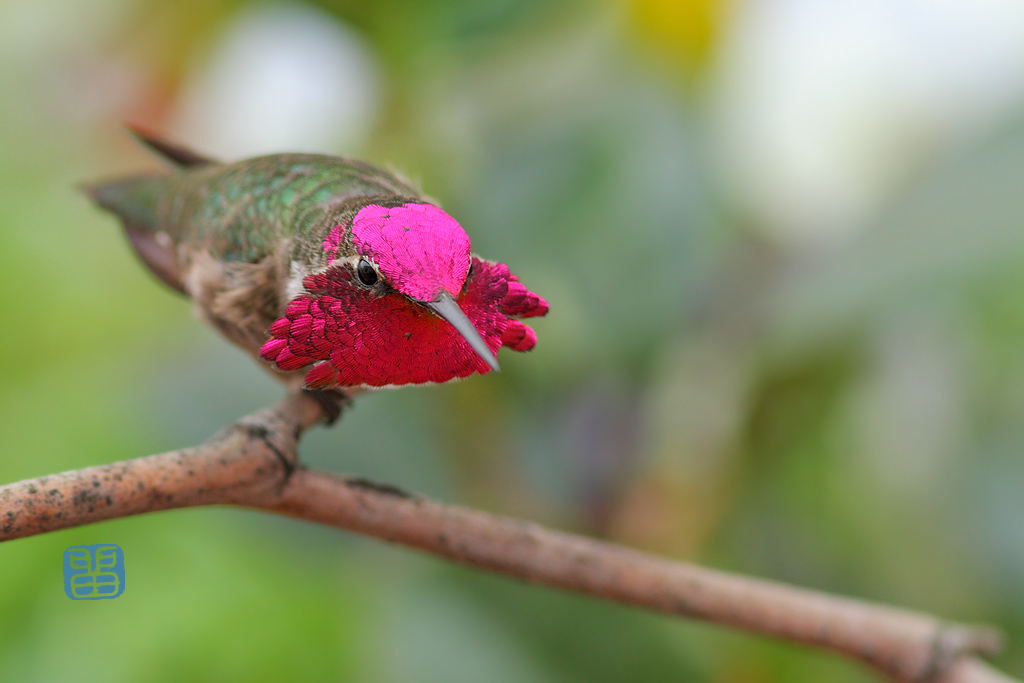 Anna's-Hummingbird-111214