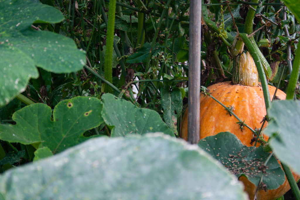Pumpkin, Botanical Garden, Munich