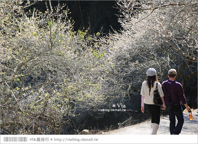 【柳家梅園】大人氣的賞梅景點!牛稠坑「柳家梅園」新私房賞梅步道13