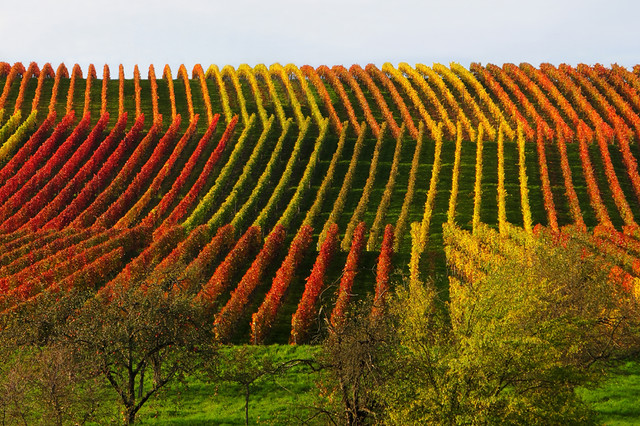 Rolling Hill in the Autumn Vineyard