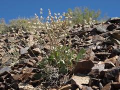 Wyman Creek buckwheat, Eriogonum rupinum Reveal (1970)
