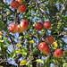 Honeycrisp Apple Tree - Bayview Wildwood Resort Port Stanton Severn Bridge Ontario Canada by Gerald (Wayne) Prout