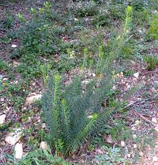 Spurge Flax (Daphne gnidium)