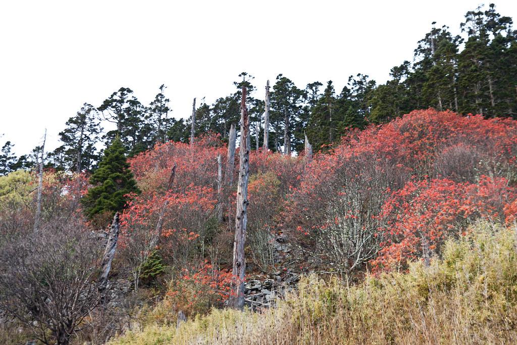 本來要看巒大花楸季的,但昨日的雨已經打掉不少了