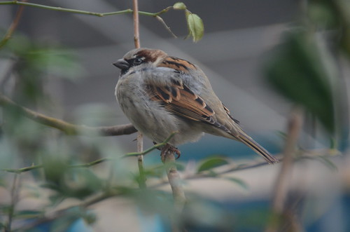 Sparrow in Berlin