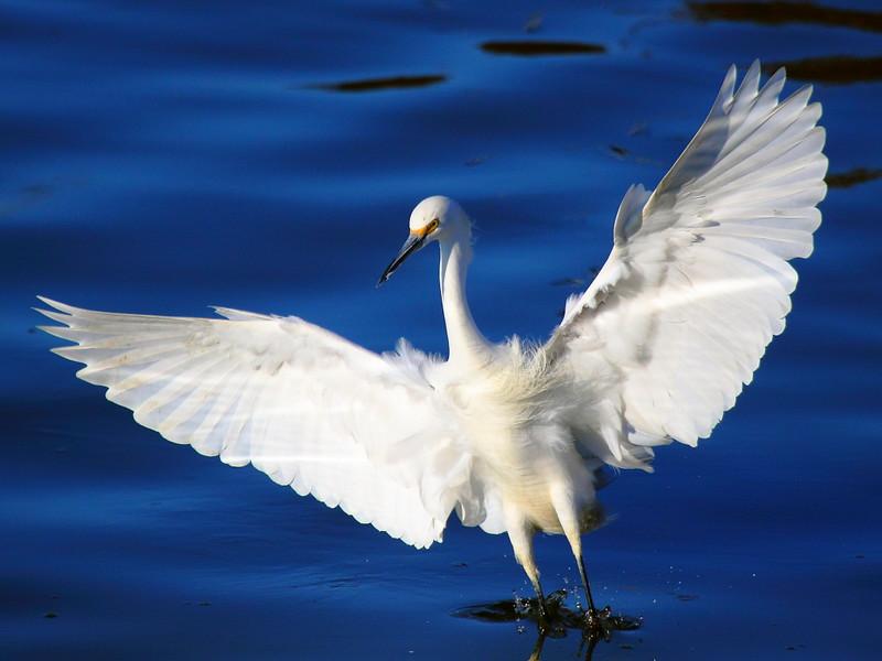 IMG_5714 Snowy Egret
