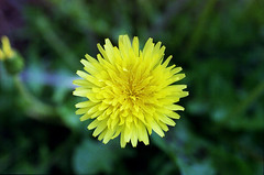 dandelion, flower, yellow, plant, flatweed, macro photography, wildflower, flora, petal,