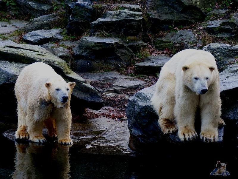 Tierpark Berlin Eisbären 20.12.2014 8