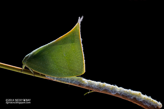 Flatid planthopper laying eggs (Flatidae) - DSC_3415