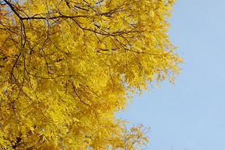 Fall Foliage in Harvard Square, Cambridge