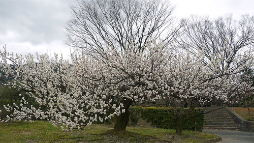 花畑園芸公園の梅①
