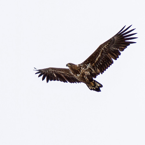 White-tailed Eagle (Havsörn)