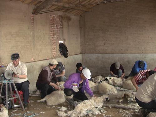 牧民剪羊毛的場面(浩畢斯嘎拉圖簡報檔案)