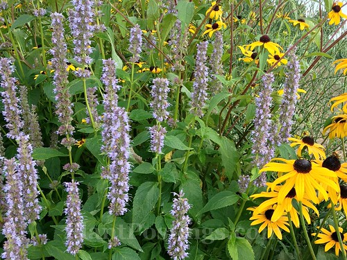 hyssop and susans