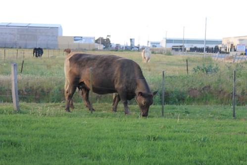cows shepparton overlanderhotelmotel