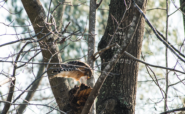 Lake Lynn - Red Tailed Hawk