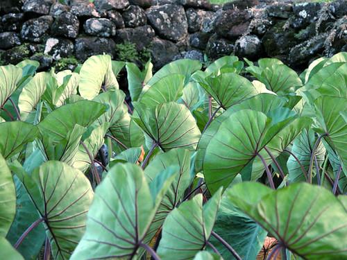 Taro courtesy of tom burke/wikimedia commons