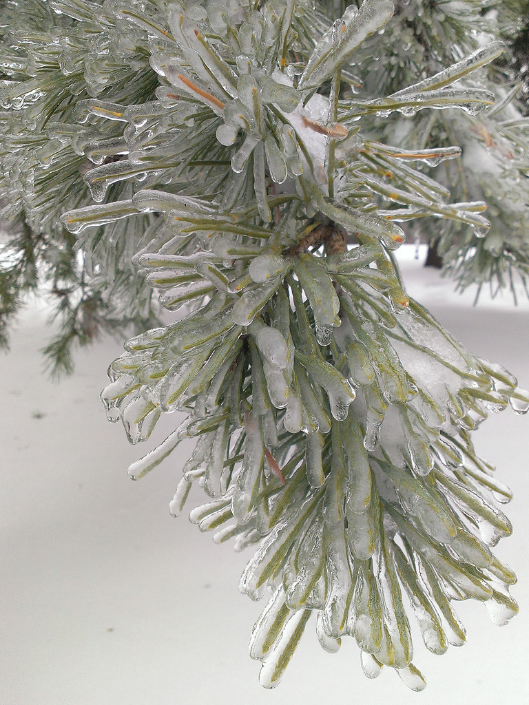 Winter Pine needles