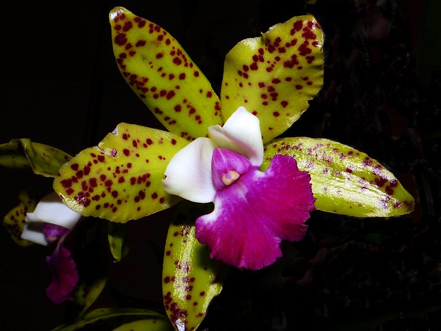 ORCHID  #12