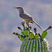 Curved bill Thrasher by ritchey.jj