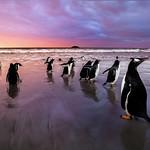 Gentoo Penguins, Falkland Islands (Islas Malvinas), British Overseas Territory