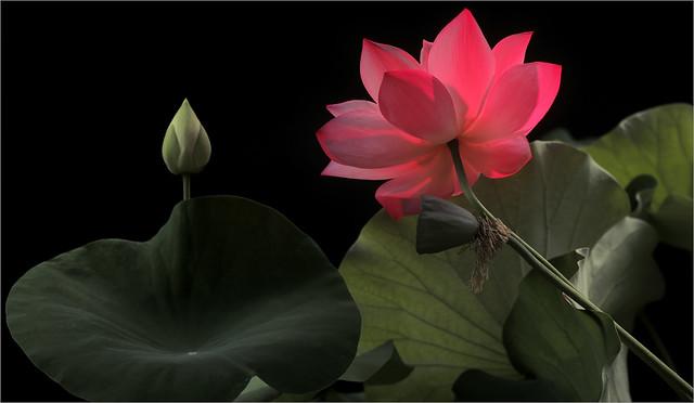Pink Purple Lotus flower and the Bud on-Black