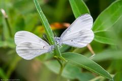 HolderWood White (Leptidea sinapis)