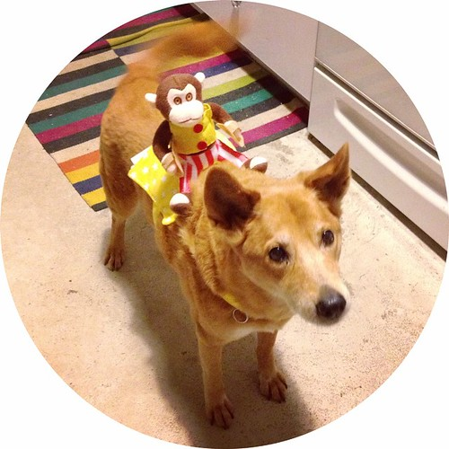 Happy Halloween from our new cymbal-playing, dog-riding monkey friend! #Daisydog #dog
