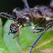 Cicindelinae