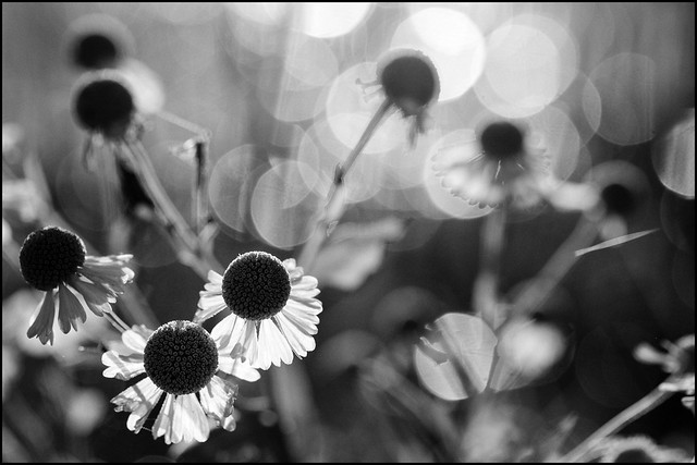 Cone Flowers and Bokeh (Explored)