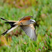 Scissor-tailed Flycatcher - take II (the scissor tail) by Jerry Ting
