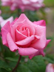 Rose, Daphnis, バラ, ダフニス,