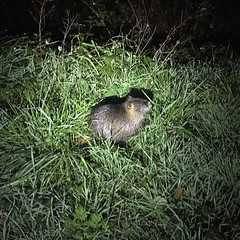 I saw 3 nutria pups and 1 field mouse tonight while riding along the creek.