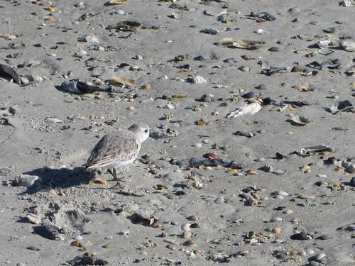 Sandpiper at Wrightsville Beach