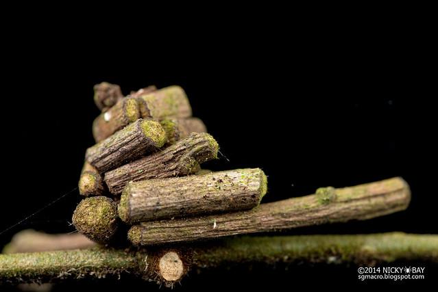 Bagworm moth pupa (Psychidae) - DSC_0463