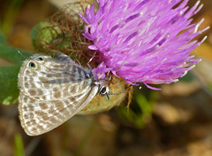 Lang's Short-tailed Blue (Leptotes pirithous) - Photo of Le Pouget